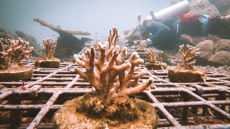 Coral re-planting project