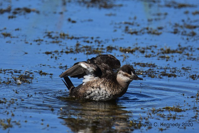 Ruddy Duck doing morning wing exercises
