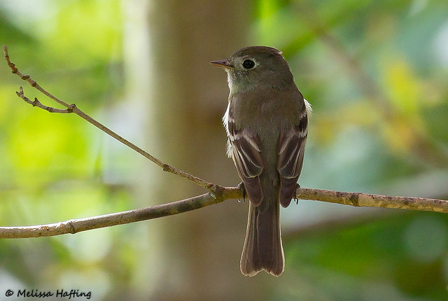 Record shot of Dusky Flycatcher (Empidonax oberholseri) - Richmond, BC