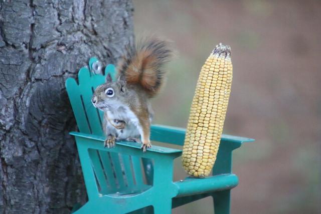 Backyard Red & Fox Squirrels (Ypsilanti, Michigan) - 127/2020 330/P365Year12 4347/P365all-time (May 6, 2020)