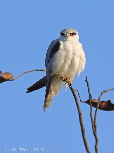Black-winged Kite, Srikanth G, 070520
