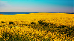 Rapeseed flower on the Baltic Sea coast