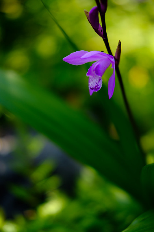 紫蘭 ( purple orchid )