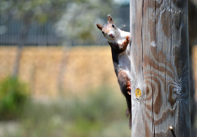 Peek-a-boo - Squirrel