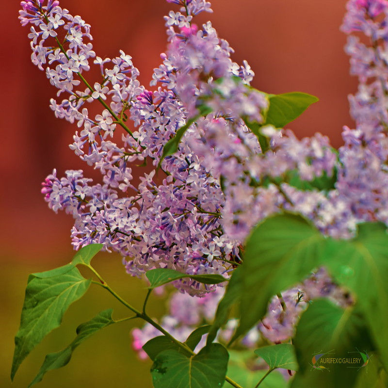 Lilac in the spring