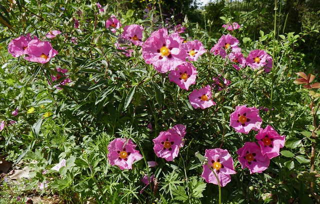 Au jardin, ciste cotonneux (Cistus albidus), Bosdarros, Béarn, Pyrénées Atlantiques, Aquitaine, France.