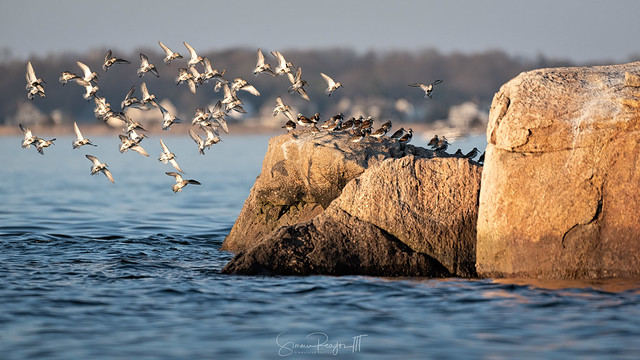 Flocking Shorebirds