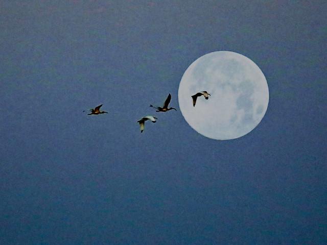 Moon Ibis Composite 20200507