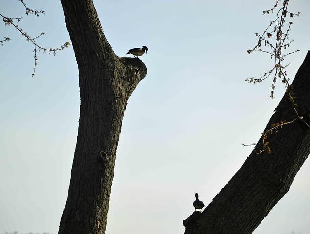 Ducks in a  tree. (Michigan)