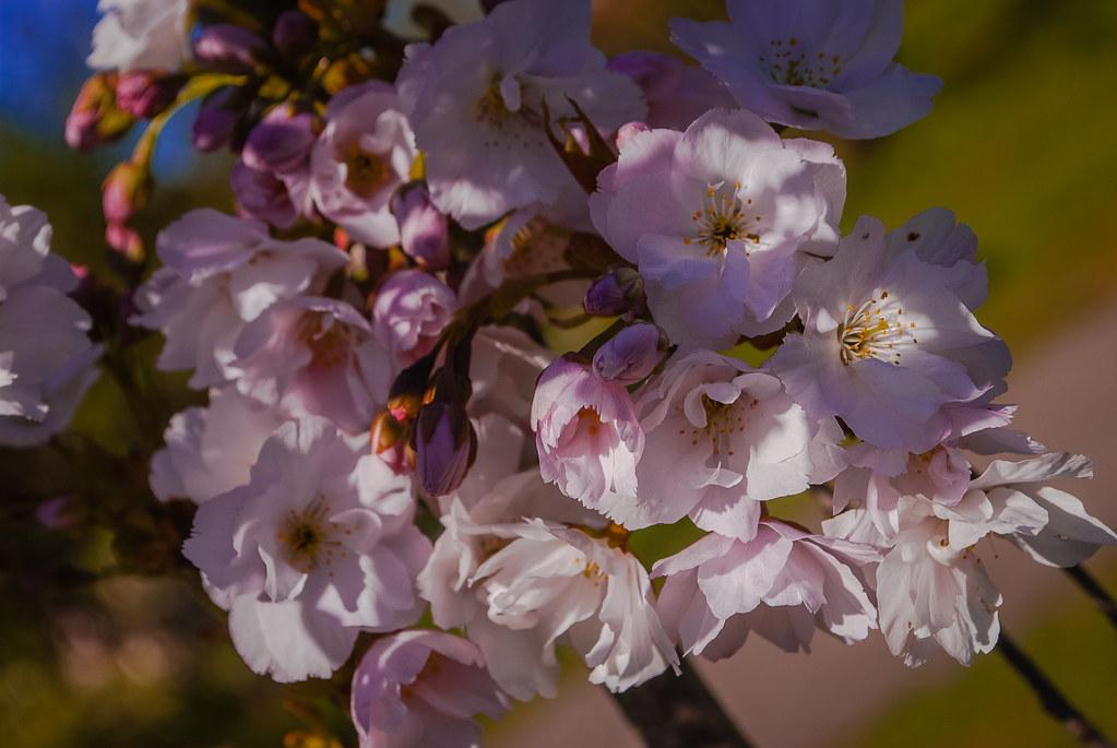 Pretty blossom! сакура DSC_5320