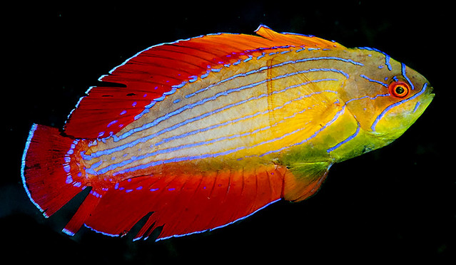 Paracheilinus-octaena-L1-i