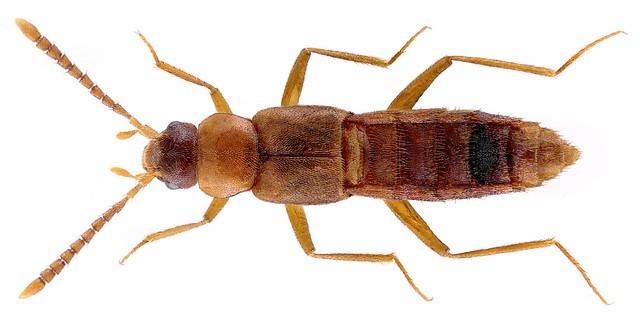 Tachyusida gracilis (Erichson, 1837)