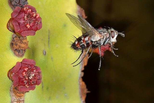 Rolf Nagel-Fl-2041-Tachinidae