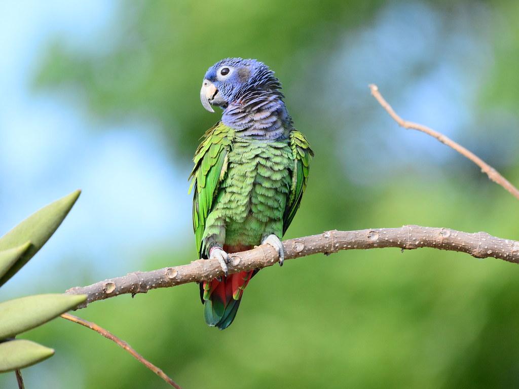 "藍頭鸚鵡  ""Blue-headed Parrot""  ""Pionus menstruus"""