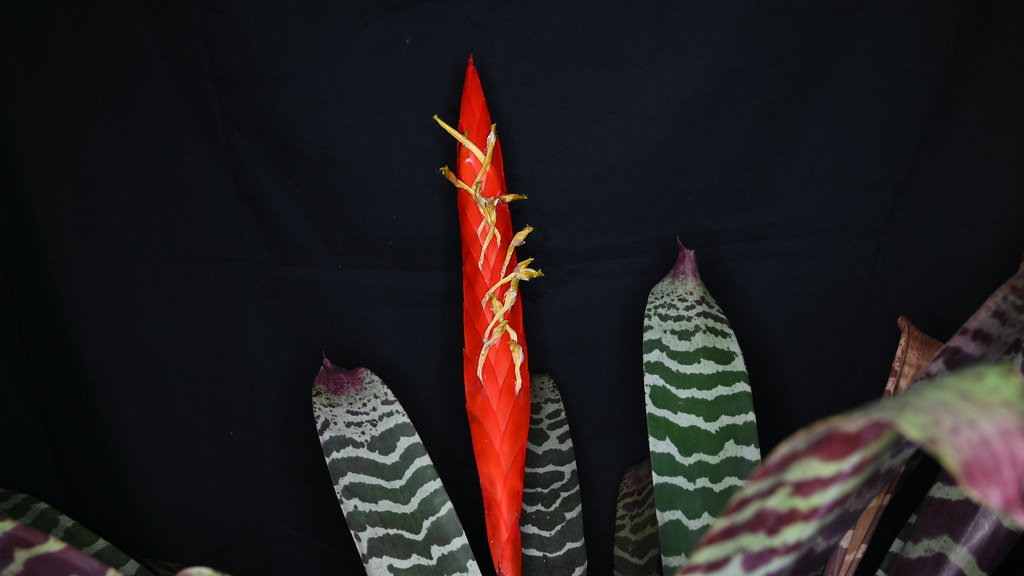Vriesea splendens in Vollblüte