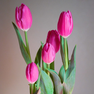 Tulips in natural window light