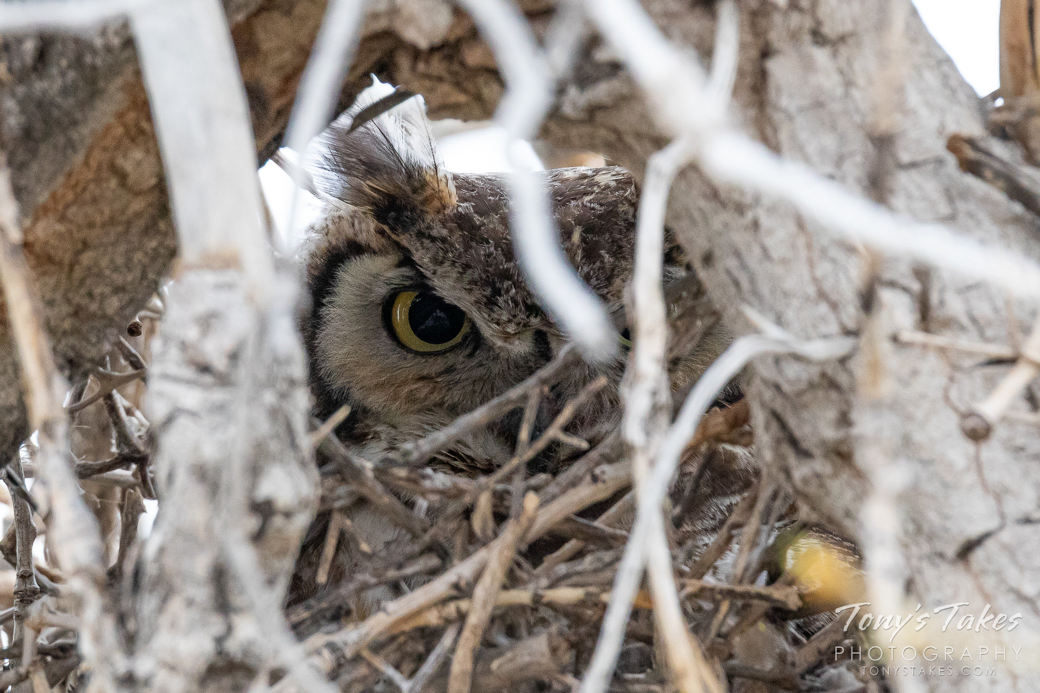 A female great horned owl keeping close watch on the photographer last weekend. (© Tony's Takes)