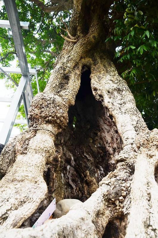 百年龍眼樹 (2)