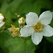 Thimbleberry - Photo (c) CAJC: in the PNW, some rights reserved (CC BY-SA)