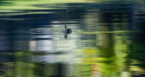 jeffreyneihart nikon nikkor afsnikkor300mmf4epfedvr nikonnikkor300mmf4epfedvr nikonafsnikkor300mmf4epfedvr duck mallard duckling pond water existinglight fledgling aguanga california ranchocaliforniarvresort