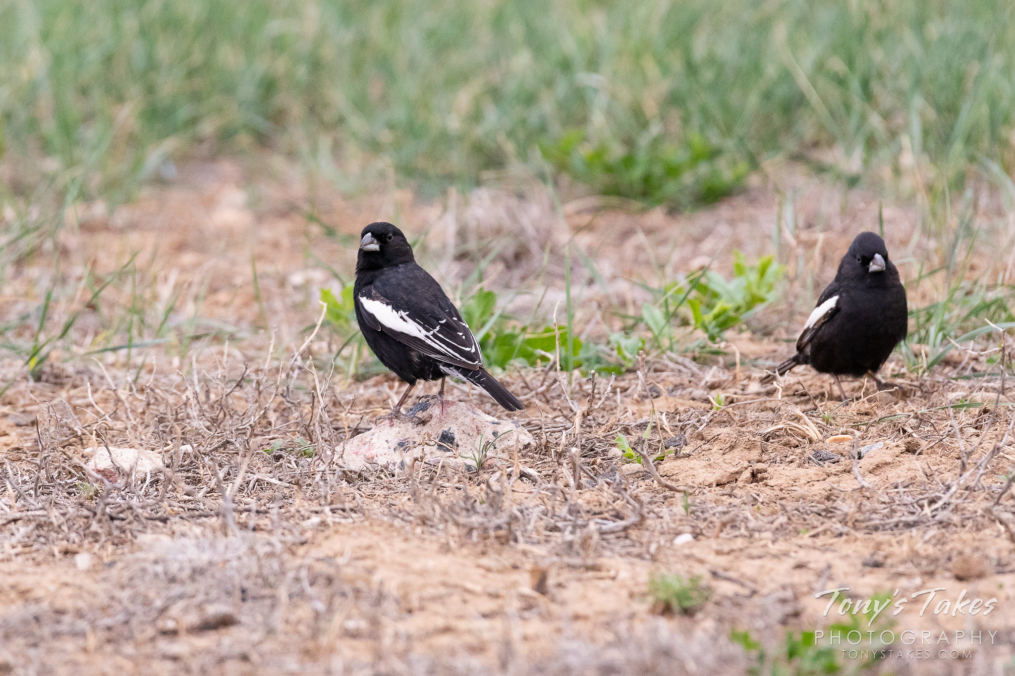 Male lark buntings forage on the Colorado plains. (© Tony's Takes)