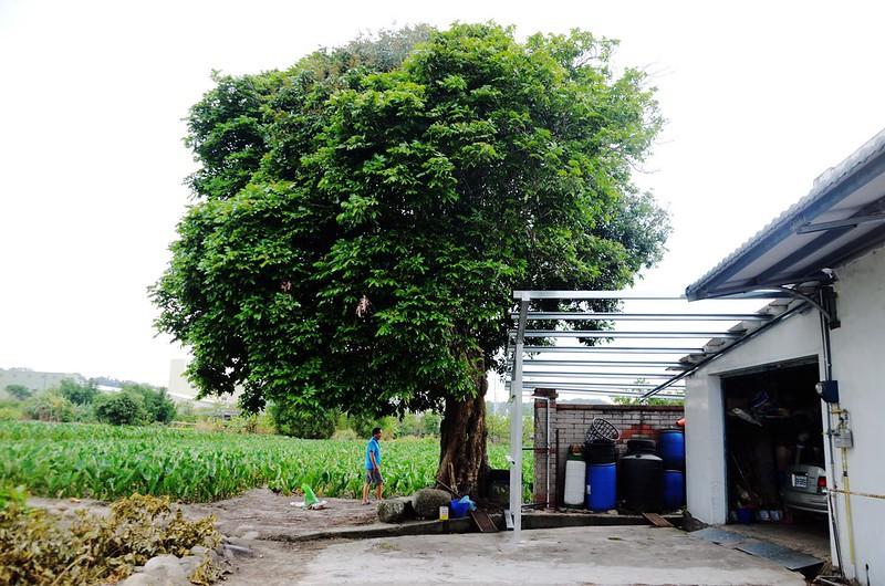 百年龍眼樹 (1)