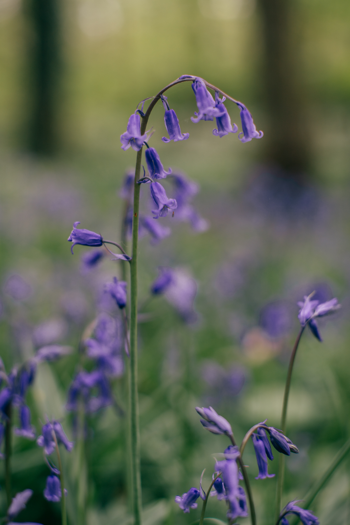 bluebells-11