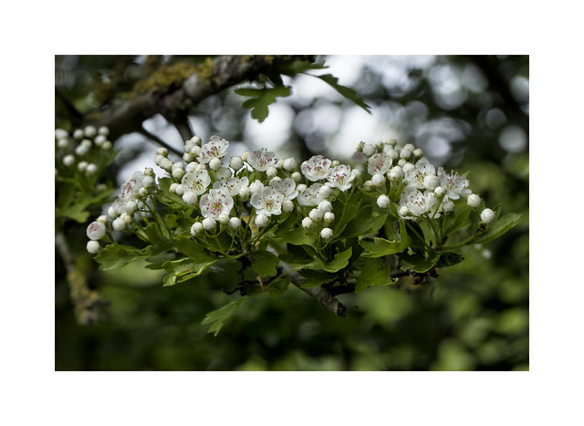 May-blossom or Hawthorn..
