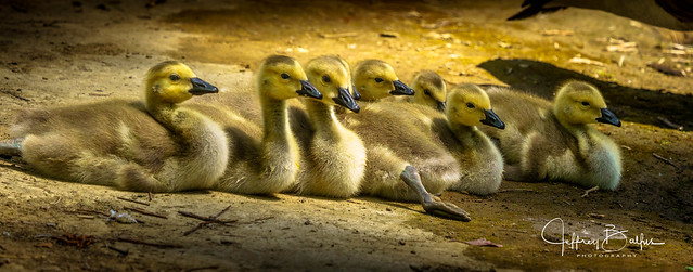 Goslings at rest-34111