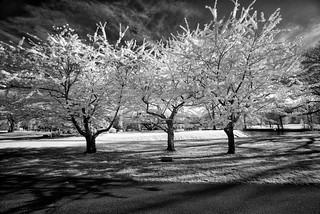 _DSC3685 Trees In Bloom B&W