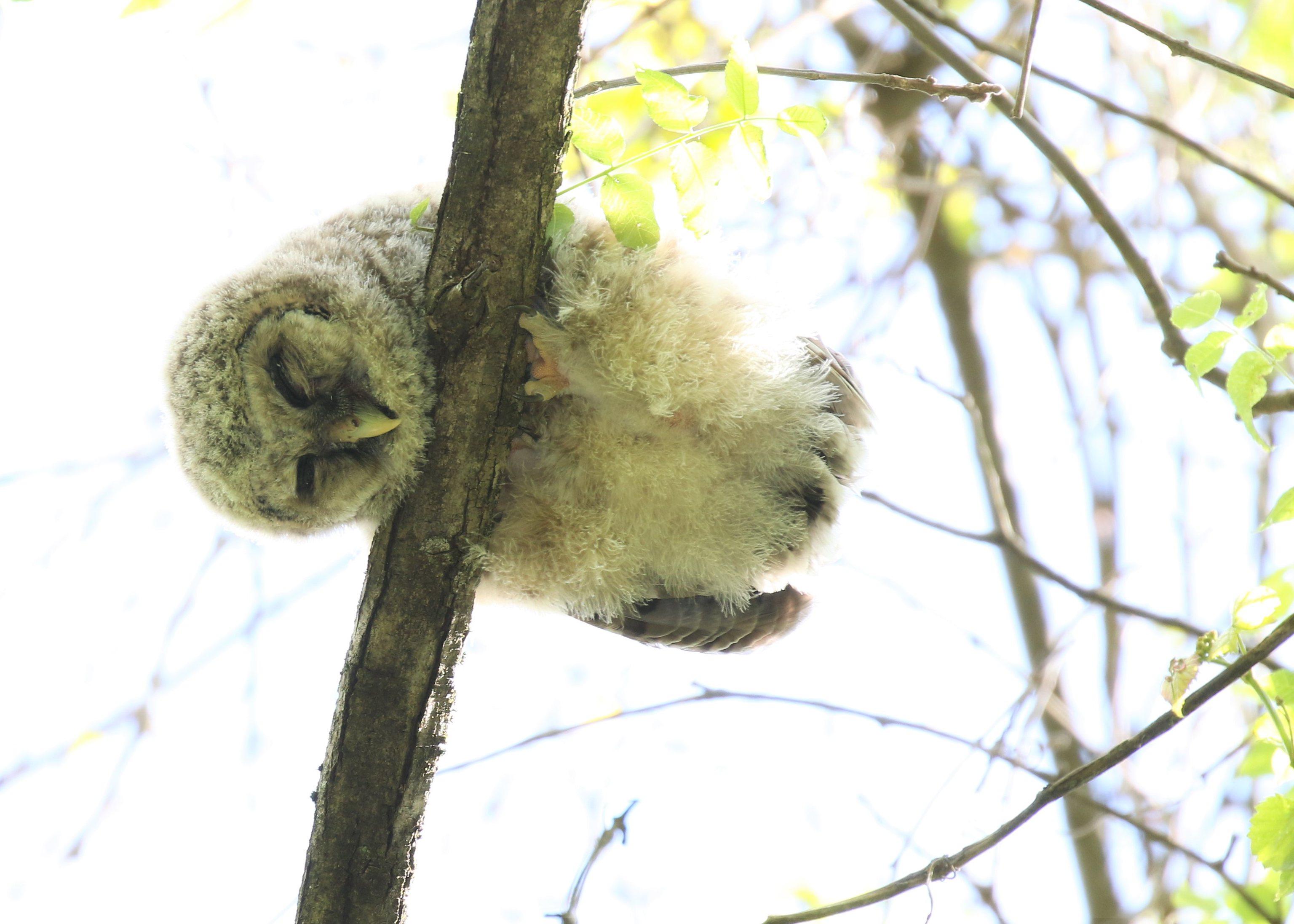 Barred owlet fledgling sleeping