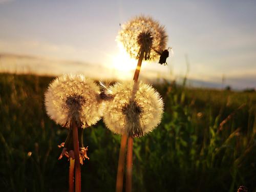 macro dandelion heads three backlit nature hertfordshire huaweimobile huaweip20pro leicalens sunset evening wildflowers seeds
