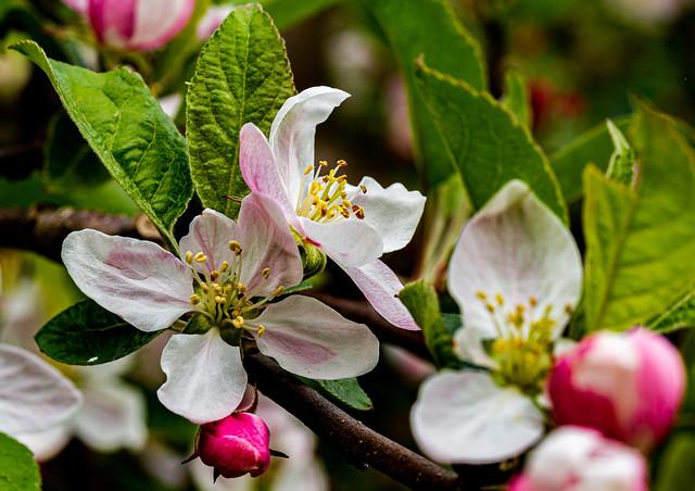Apple tree flowers - 6M7A9528