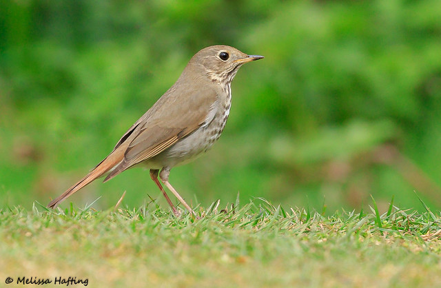 Hermit Thrush (Catharus guttatus) - Richmond, BC