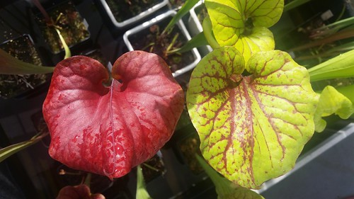 "Red top of Sarracenia flava ""Waccamaw"""