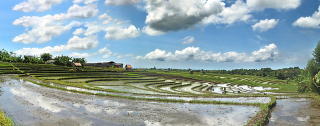 Rice Terrace (Paddy Field), Bali, Indonesia.