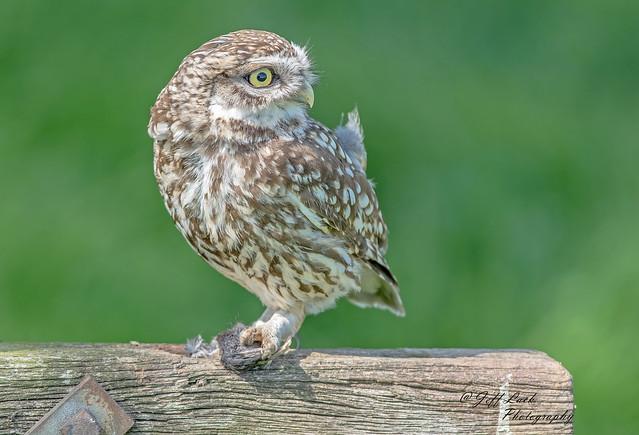 DSC3620  Little Owl...