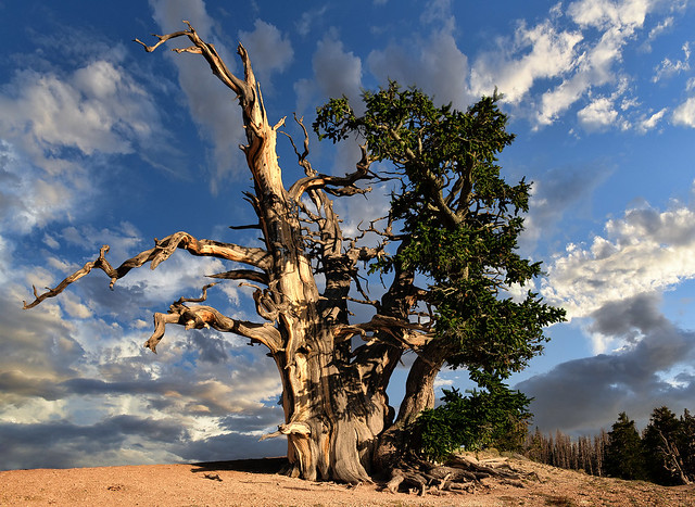 2000 Year Old Bristlecone Pine at  Sunset