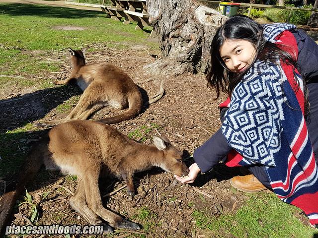 ballarat wildlife park kangaroo