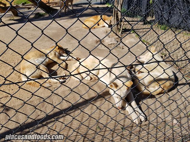 ballarat wildlife park dingo