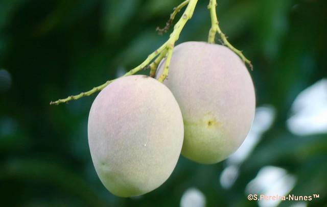 2 mangoes, Paramaribo, Suriname