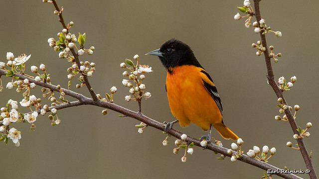 Orioles came back too...