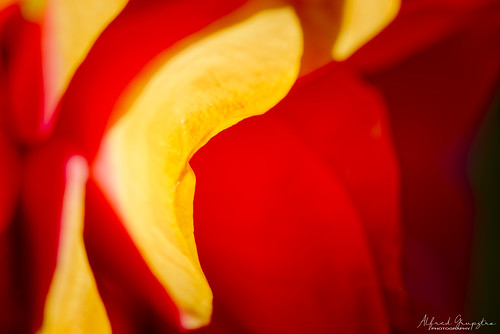 Camelia Flower Abstract