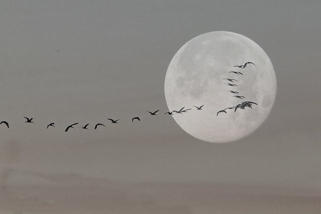 Moon Ibises composite 2-20200508