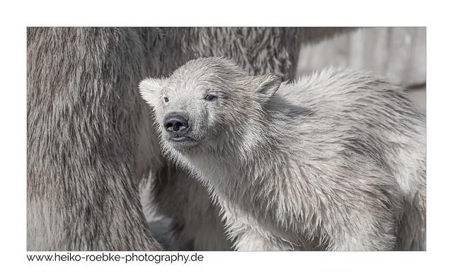 Eisbärchen / little polarbear