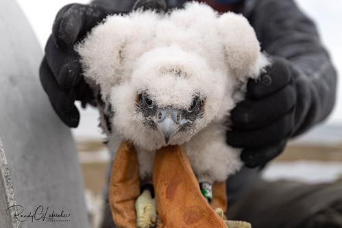 Peregrine Falcon - Falco peregrinus | 2020 - 9