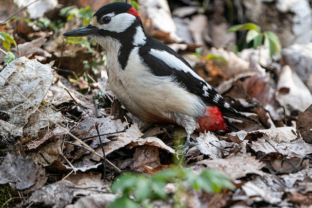 Great Spotted Woodpecker - Käpytikka