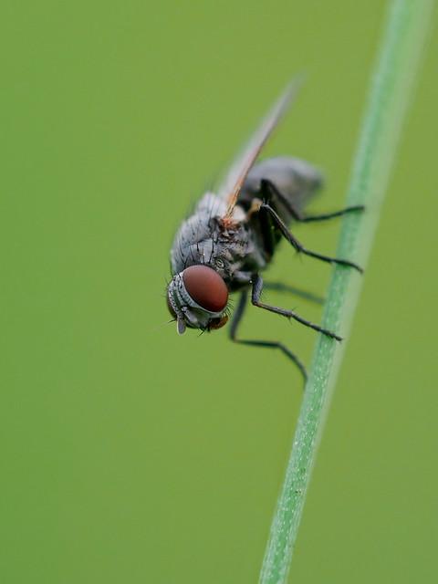 Fliege | Fly (Brachycera)