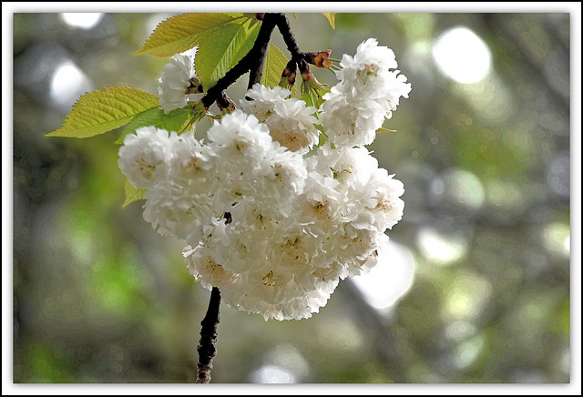 Flower Of The Day - Cherry Blossom