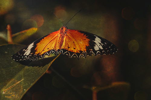 Image of a Malay Lacewing Butterfly at the Butterfly Rainforest in Gainesville, Florida